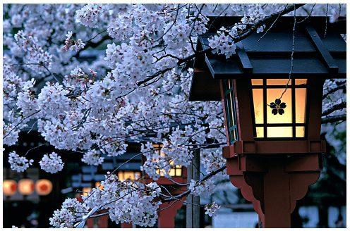 Sakura: fleurs de cerisier