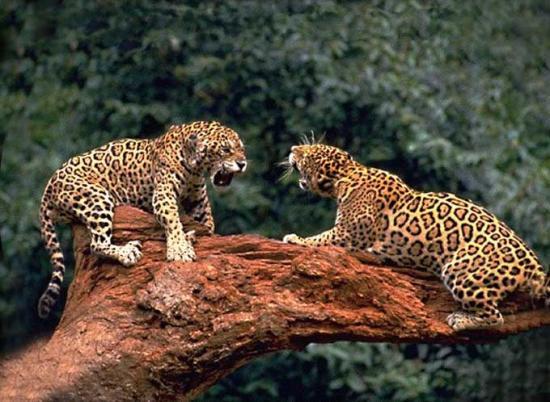 le-jaguar-un-monstre-de-felin_1160760-L