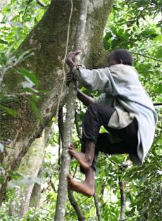 grimper-arbres-bipede