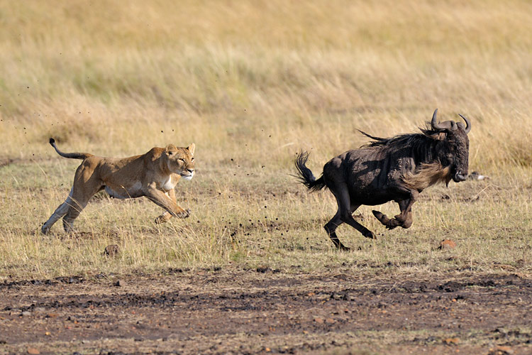 ds_lion_chasse